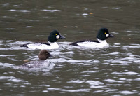 Common Goldeneye 01