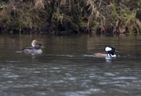 Hooded Merganser 03
