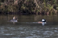 Hooded Merganser 06