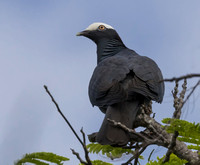 White Crowned Pigeon 04